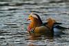 Mandarin Ente (danielkai.meyer) Tags: kaimeyer nikon d5300 nikkor200500mm vögel natur schlosscharlottenburg berlin mandarinente