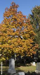 Golden Leaves (rumimume) Tags: potd rumimume 2017 niagara ontario canada photo canon 80d sigma fall autumn stmarks church graveyard sun november outdoors history uppercanada age notl
