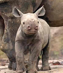 black rhino Blijdorp BB2A2361 (j.a.kok) Tags: rhino rhinoceros zwarteneushoorn blackrhinoceros neushoorn puntlipneushoorn africa afrika herbivore animal mammal zoogdier dier babyneushoorn babyrhino blijdorp