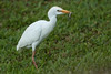Gotcha! (Peter Stahl Photography) Tags: catteegret egret hawaii anole hunting backyard maui