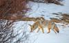 024A9907 (scepdoll) Tags: baldeagle grandtetonnationalpark jackson jacksonhole kelly wyoming backlitcoyote bisoncrossing bisoninheadlights coyote moose owl snow winter unitedstatesofamerica