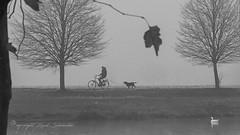 fight against the wind [explored] (Ruud.) Tags: ruudschreuder nikon nikond810 d810 50mm14 nikor50mm bw zwartwit monochrome blackandwhite blackwhite noordbrabant brabant roosendaal brabantslandschap northbrabant netherlands tolbergvijver dutchlandscape landscape landschap paisajes paysage landschaft fiets fietser hond bicycle cyclist dog wind herfst autumn