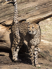 Cheetah at National Zoo (dckellyphoto) Tags: 2018 washingtondc washington districtofcolumbia nationalzoo zoo animal smithsoniansnationalzooandconservationbiologyinstitute canon1300d canonrebelt6 acinonyxjubatus cheetah smithsonian