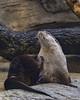 8249 (PhillipsVonNoog) Tags: tennessee aquarium animal animals nature biology wildlife aquariums mammal mammals north american river otters otter lontra canadensis