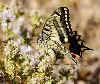 En mi opinión una de las mariposas más bonitas y grandes de las que tenemos por Málaga, la Papilio machaon ......Está en particular se hizo amiga mía y me permitió hacerle un reportaje completo ..... .