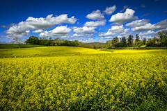 jaune et bleu (joboss83) Tags: paysage fujixt1 lanscap colza jaune bleue prairie france europe route voyage vacances groupenuagesetciel