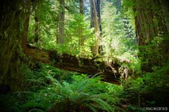 (Nick Kanta) Tags: california color fern forest fujifilm nationalpark outdoorphotography redwoodnationalpark redwoods trees xt10