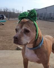 MJ aka Mary Jane (DDA1) Tags: pitbullmix dog adoption adoptionshelter adoptioncenter adoptable adopt stpatricksdayst pattys dayluck irish