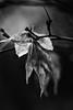 Withering (gregmolyneux) Tags: 100mm blackandwhite flora japanesemaple lowkey macro stafford newjersey unitedstates usa