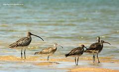 IMG_0066 Whimbrel (Numenius phaeopus) & Eurasian Curlew (Numenius arquata) (vlupadya) Tags: greatnature aves fauna indianbirds whimbrel numenius eurasian curlew kundapura karnataka