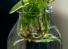In a Bottle (MikeBoyes) Tags: macromondays inabottle bottle spiderplant