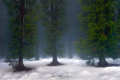 Winter (Mimadeo) Tags: cypress forest winter evergreen snow snowy green leaves trunks nature light landscape sunlight woods cold branch view season woodland trees tree coniferous fog foggy mist misty