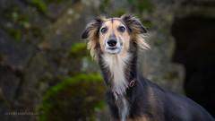 20180211-P2110093.jpg (Wahira) Tags: europa langhaarwhippet frankreich montmedy hunde windhunde tiere silkenwildfires abby silkenwindsprite montmédy grandest fr
