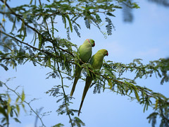Parakeets (David I Gillett) Tags: parakeet rose ringed green india narlai