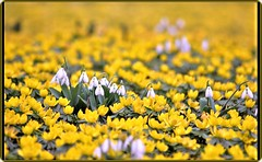 Spring is coming (Ioan BACIVAROV Photography) Tags: snowdrops spring flowers nature natura bokeh forest foret padure bacivarov ioanbacivarov bacivarovphotostream interesting beautiful wonderful wonderfulphoto nikon
