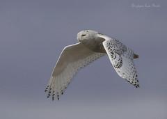 One Last Look (slsjourneys) Tags: owl snowyowl islandbeachstatepark