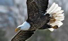 Close Action (Vidterry) Tags: eagle baldeagle eagleinflight baldeagleovercedarlake baldeaglecloseupphoto shotinthewild