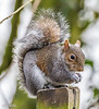 Squirrel CMill (1 of 1) (J Bloggs UK) Tags: squirrel carrmill nature outdoors wildlife