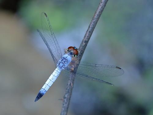 Palemouth dragonfly (Brachydiplax denticauda)
