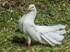 Ornamental white fantail dove (PriscillaBurcher) Tags: ornamentalwhitefantaildove whitefantaildove fantaileddove whitedove dove columbaliviadomestica domesticpigeon l1220650