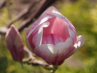 Blossoming magnolia, spring flower