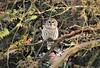 Owl Landing in Cedars (karma (Karen)) Tags: baltimore maryland home backyard birds barredowl trees cedars hss topf25