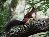 Esquilo vermelho (Sciurus vulgaris) (Hugo Albuquerque) Tags: esquilo roedor mamifero sciurusvulgaris floresta
