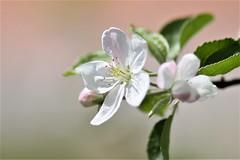 cherry flower (sergrossov) Tags: roses flora flowers plant pastel flower bright pattern organic macro texture petal sere