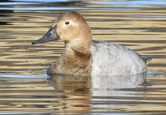 Canvasback, Female #2 (beautyinature4me) Tags: bird avian canvasback water female pagesprings arizona december2016
