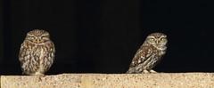 2 Lil Owls 1S9A6931 (saundersfay) Tags: littleowls birds raptors yellow eyes elmley hares kestrel