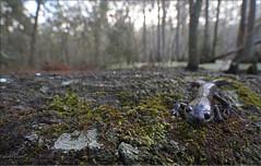 Mole Salamander (Ambystoma talpoideum) (Jake M. Scott) Tags: mole salamander ambystoma talpoideum herp herping herps fieldherping herper outside nature natural jakescott canon ecology cypress amphibian salamandersofflorida floridasalamander caudate caudata ambystomatidae amphibiansofflorida