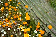 Spring Wildflowers (joeksuey) Tags: spring wildflowers joeksuey poppies creamcups gilia lupine superbloom bartlettlake carefree arizona phoenix desert mexicangoldpoppy saguaro brittlebush popcornflower chia chuparosa fairyduster teddybear cholla whitepoppy