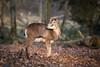 Mufflon (Gret B.) Tags: mufflon tier animal park wald tiergehege tiergehegetannenberg kiel natur herbst winter ausflug