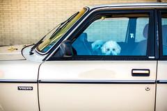 Two Cute Los Angeles Dogs (Thomas Hawk) Tags: america americanlegion americanlegionpost46 california communitypost46 losangeles southerncalifornia usa unitedstates unitedstatesofamerica volvo auto automobile car dog dogs poodle poodles fav10 fav25