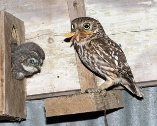 Little Owl 5.7.2013 (5)