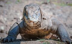 Komodo Dragon - Rinca Island, Indonesia (Guiyomont) Tags: dragon komodo reptile asia indonesia island monster travel
