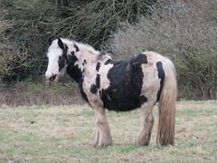 UK - Hertfordshire - Near Bushey - Attenborough's Fields - Pony (JulesFoto) Tags: uk england hertfordshire clog centrallondonoutdoorgroup bushey attenboroughsfields pony