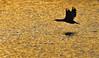 Agua dorada (sdrobkov) Tags: cormoran pajaros fauna invierno agua atardecer nikond500 nikkor nikkor20050056vr