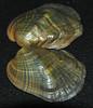 Epioblasma torulosa torulosa (tubercled blossom) 2 (James St. John) Tags: epioblasma torulosa tubercled blossom shell shells bivalve bivalves clam clams mussel mussels extinct species freshwater