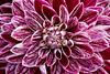 friday's flower power (Sabinche) Tags: sabinche dahlia flower fridaysflowerpower ffp canoneos7dmarkii