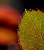 Back Stage. (Omygodtom) Tags: macrodreams macro bokeh tamron90mm tamron detail red leaf nikkor nature nikon dof d7100 outside flora flickr