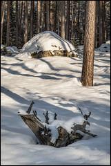 Stubbe och Sten (Jonas Thomén) Tags: stubbe stump sten rock stone forest skog träd trees snow snö winter vinter february februari utomhus outdoor tree woods