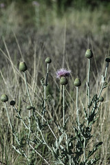 Thistle - Palo Duro Canyon, near Amarillo, Texas (BeerAndLoathing) Tags: rebel usa canyon roadtrip paloduro texas texastrip trip eos outdoors t3i canon may spring 2016