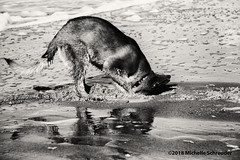 Digging German (Michelle Schreuder) Tags: oldgermanshepherd oudduitseherder nora hond dog pet animal love digging german duits femaledog teef girl michelleschreuder samsungnx30 breda zeeland zee sea strand beach zand sand thenetherlands nederland holland lespaysbas