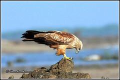 7634 - brahminy kite (chandrasekaran a 49 lakhs views Thanks to all.) Tags: brahminykite birds nature india tamilnadu kodikkarai ptcalimere
