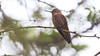 103.2 Koperglanskolibrie-20171108-J1711-64561 (dirkvanmourik) Tags: aglaeactiscupripennis aves birdsofperu bosquenublado carreteraamanu colibrícobrizo koperglanskolibrie nevelwoud peru2017 reisdagcuscomanu shiningsunbeam vogel