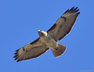 Soaring red-tail hawk