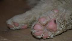 Pink Paws (Zsofia Nagy) Tags: 7daysofshooting week29 serene macromonday dog puppy kuvasz kutya pet animal macro paws 52in2018challenge new bojtos