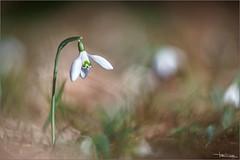 Bucaneve bokeh. (valpil58) Tags: snowdrop bucaneve closeup bokeh macro wildflowers m42 vintagelens russianlenses tair sony a7