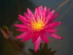 บัวลูกผสมข้ามสกุลย่อยสัญชาติไทย 'ดิโก้ กอลลิ' Nymphaea 'Diego Galli' HxT (ISG) Waterlily Thailand 4 (Klong15 Waterlily) Tags: wahgarden thailandwaterlily pond pondplant diego galli diegogalli diegogalliwaterlily nymphaea gardener lotus flower lotusflower hxtwaterlily intersubgenericwaterlily isgwaterlily บัว บัวลูกผสมข้ามสกุลย่อย ดอกบัว ไม้ดอกไม้ประดับ landscape landscapes ดอกบัวสวยงาม